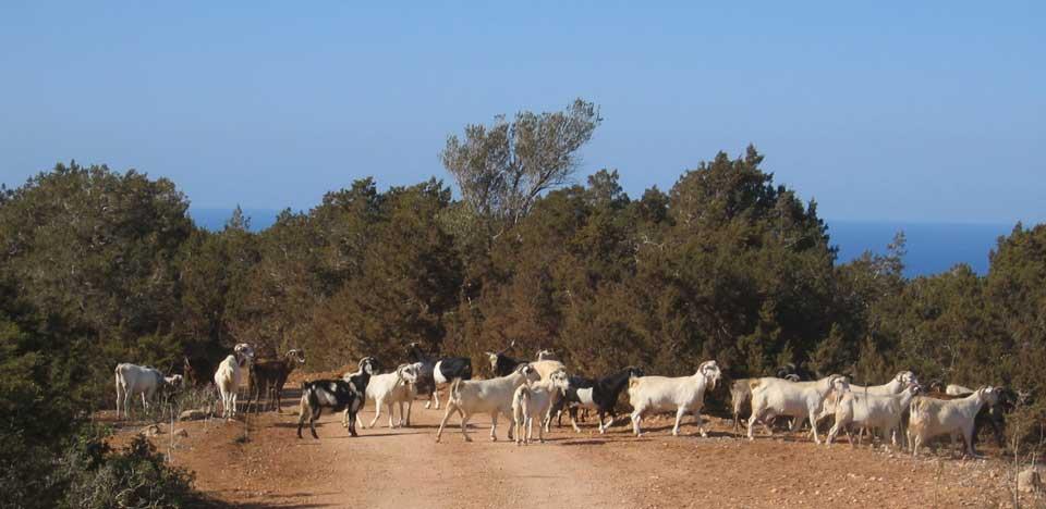 Wandelen in Cyprus - geiten in Akamas