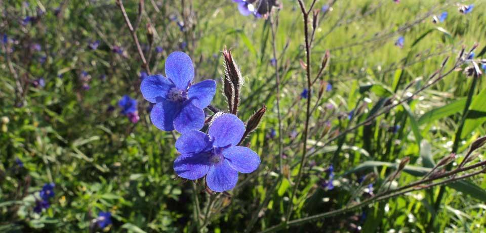 Wandelen in Cyprus - wilde bloemen